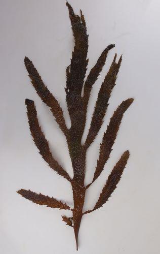 高さ1メートルを超える。茎があり、その先に多数の葉をつける。