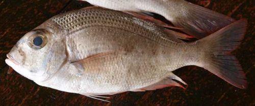 タマメイチの生物写真