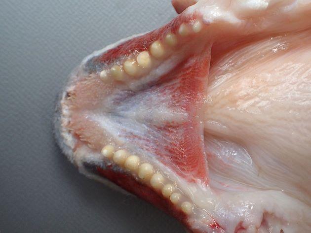 下顎の歯は鈍い臼歯状。