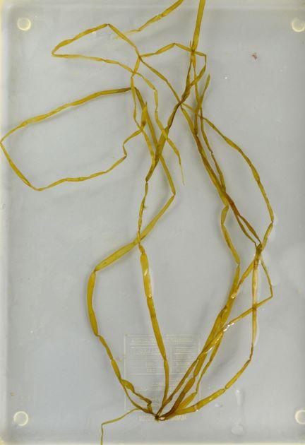 長さ30cm前後になる。細長くイネ科びイネもしくはカヤ(茅)の茎ににて節がある。