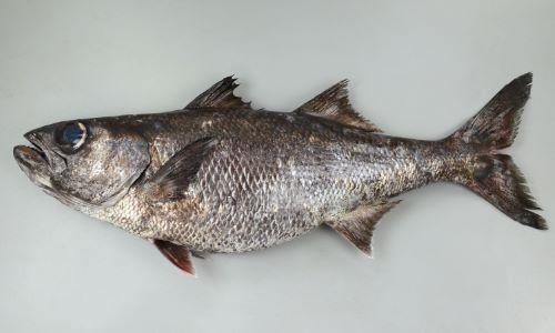 ムツよりも大きくなり、60センチ前後になる。全体が黒紫色。目が大きく背鰭は2個。やや側扁し、体高はムツと比べると高い。