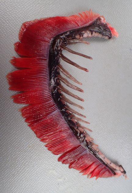 第1鰓弓の鰓耙数は上1-2、下9-13。写真は上2、下11