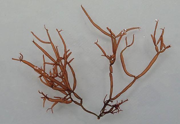 高さ15センチ前後になる。茎は円柱形中空で袋状。