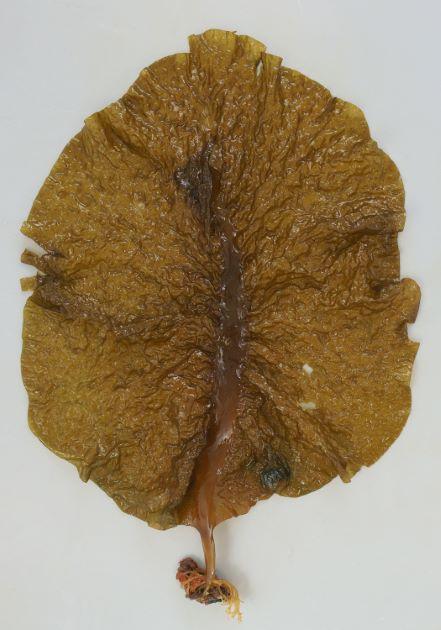 ヒロメの形態写真