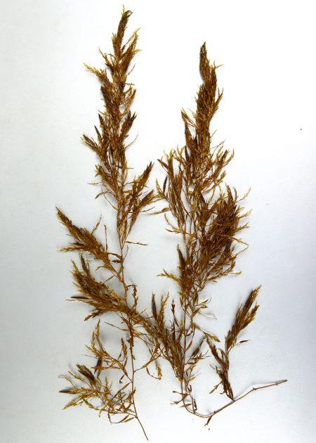 4m前後になる。付着器は円盤状で皺が寄る。付着器から1本の茎を生じ、数mに伸びる。枝は必ず葉腋(ようえき/葉のつけ根)から出る。葉は膜状で葉脈にまで達する切れ込みで羽状になる。雌雄異株で雌性生殖器床は円柱状で長さ2-3cm・直径3mm、雄性生殖器床は細長く長さ4-7cm・直径2mm。気胞は円柱状で冠葉をつけ、長さ1-1.5cm・直径2-3mmあり、短い柄をつける。