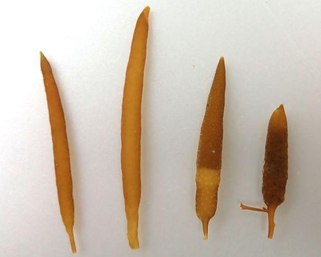 雌雄異株で雌性生殖器床は円柱状で長さ2-3cm・直径3mmでずんぐりしている。雄性生殖器床は細長く長さ4-7cm・直径2mm。雌の生殖床は成熟すると表面にニキビのような疣ができる。成熟の度合いが高くなると、この疣が大きくなる。卵もこの疣状の部分から吐き出され、後は葉や茎が硬くなり枯れ死する。[向かって左/雌株 向かって右/雄株]