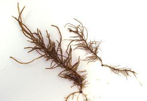 クロモのサムネイル写真