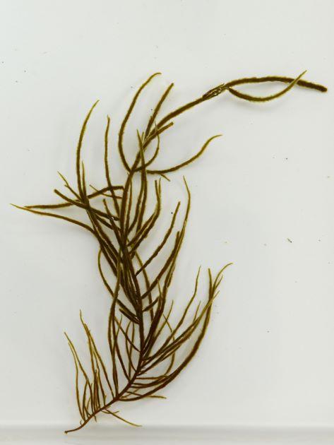 高さ60cm前後になる。よく分枝する。藻体の表面に産毛状のものがあり、触るとぬるぬるする。円柱状で無数の枝が出る。枝からは枝は生じない。表面には黒くて非常に細い毛が無数に出る。