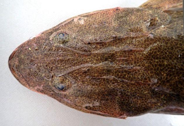 ヨシノゴチと比べると目は小さく左右に離れている。口もヨシノゴチと比べて丸い。