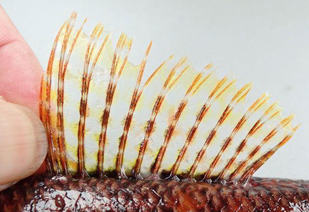背鰭は通常14軟条。13軟条の固体もいる。