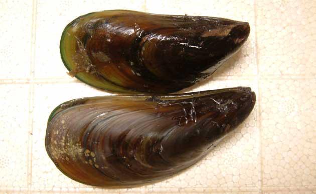 ミドリイガイの形態写真