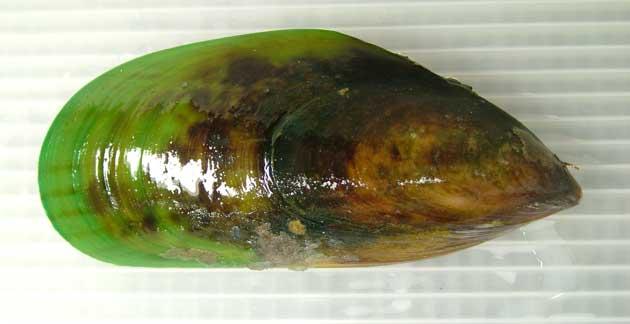 モエギイガイの形態写真