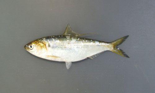 30センチ前後になる。側扁形(左右に平たい)。口が前端(いちばん前)にあり、背が銀色で腹が白い。背鰭の後端(後ろ端)が糸状に伸びる。口はまっすぐで上あごも曲がらない。[コハダサイズ10cm]