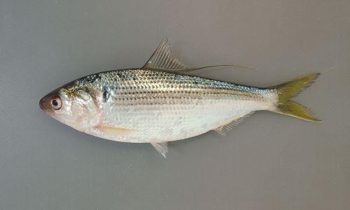 30センチ前後になる。側扁形(左右に平たい)。口が前端(いちばん前)にあり、背が銀色で腹が白い。背鰭の後端(後ろ端)が糸状に伸びる。口はまっすぐで上あごも曲がらない。[ナカズミサイズ16cm]