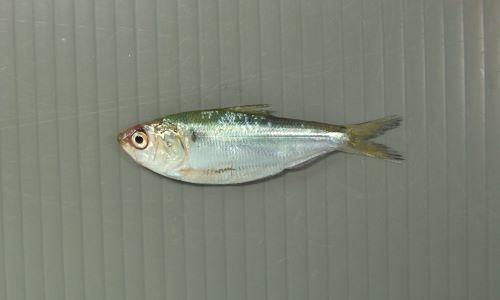30センチ前後になる。側扁形(左右に平たい)。口が前端(いちばん前)にあり、背が銀色で腹が白い。背鰭の後端(後ろ端)が糸状に伸びる。口はまっすぐで上あごも曲がらない。[新子サイズ6cm]