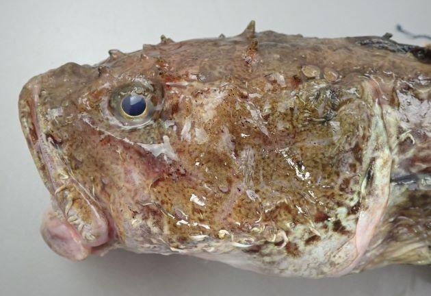 35cm SL 前後になる。背鰭は2基で目の後ろ後頭部に無数の硬くて太い棘がある。頭部が大きくやや縦扁(上下に平たい)する。皮膚は緩くブルブルしている。