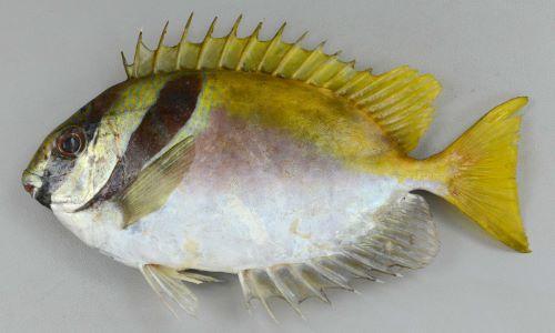 ヒメアイゴの生物写真