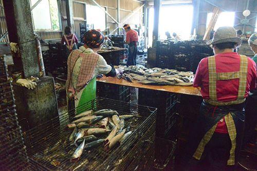 ゴマサバでサバ節つくっている光景