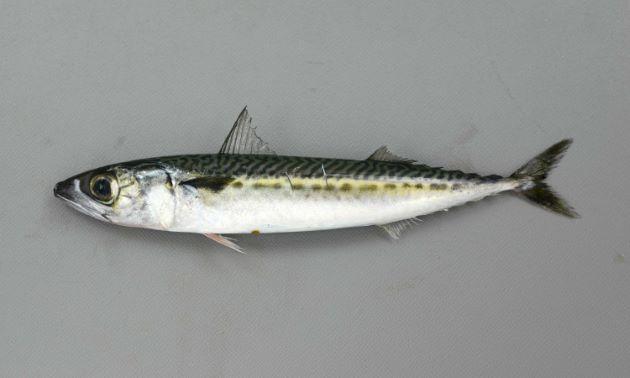 SL 15cmの幼魚。同サイズのマサバと比べると頭部が小さく体高が低い。