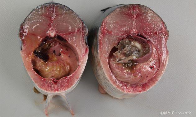 (左)マサバは別名「平さば」、(右)ゴマサバは別名「丸さば」。ゴマサバの方が断面が丸い。