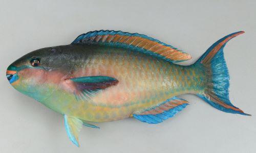 イチモンジブダイの生物写真