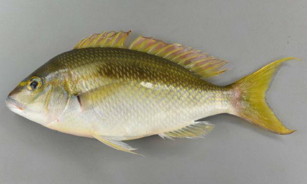 SL30cm前後になる。眼下に薄く硬い棘がある。尾鰭上葉が少し伸びる。
