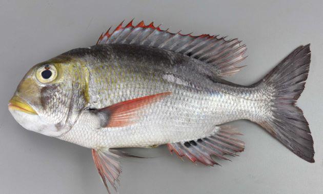 ヨコシマクロダイの形態写真