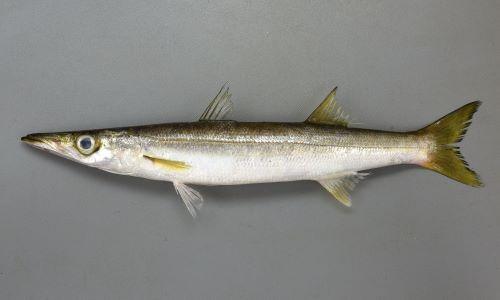 体長40cm前後になる。体側に目立った斑紋はない。腹鰭は第1背鰭よりもかなり前にある。鰓耙数は2。