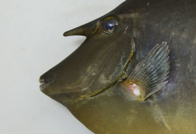 体長60cm前後になる。前頭部に角状の突起があるが、それほど長くはない。尾柄部の板状の骨盤は青い。