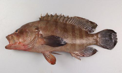 ヤミハタの生物写真