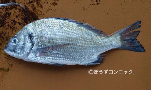 ミナミクロダイの生物写真