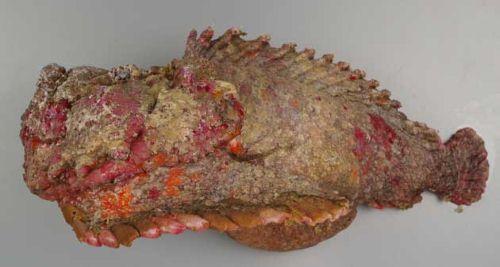 オニダルマオコゼの生物写真