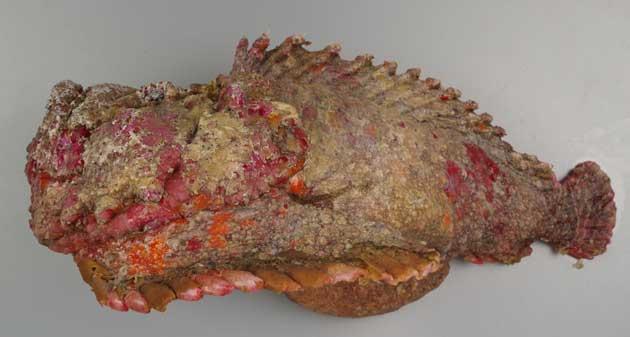 オニダルマオコゼの形態写真