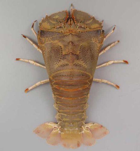 ウチワエビモドキの生物写真