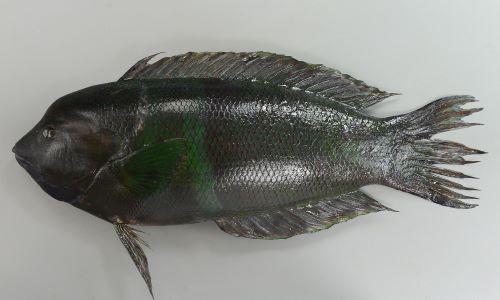 カンムリベラの生物写真
