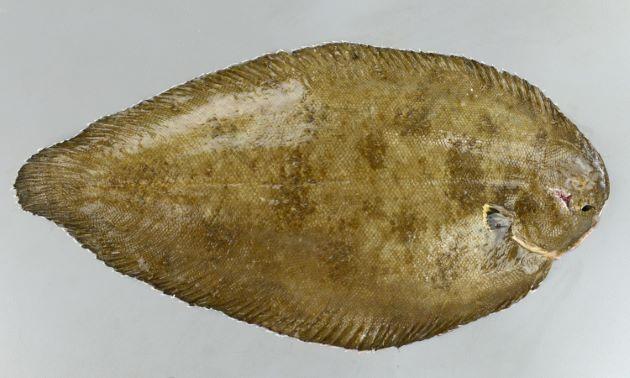 アマミウシノシタの形態写真