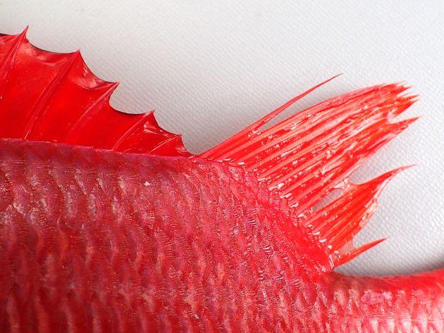 背鰭棘条最終は短く第2背鰭軟条に少し離れる。