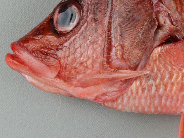 前鰓蓋骨下部後縁に強い棘がある。