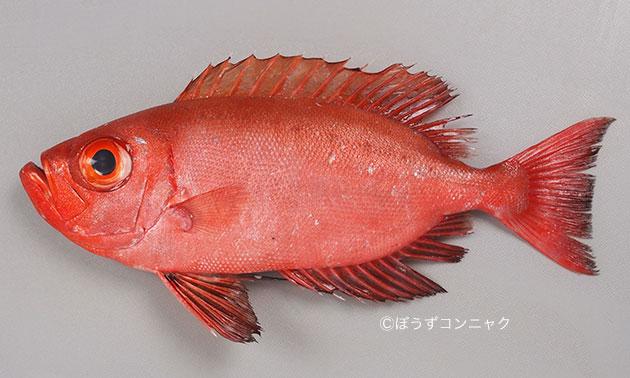 体長25cm前後になる。尾鰭は湾入形。