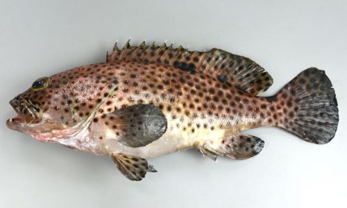 体長約35cmになる。背鰭棘は11、尻鰭軟条は8.尾鰭は丸い。全身に瞳大前後の斑紋があり上部背鰭下では網目状になる。胸鰭には斑紋がない。尾鰭には斑紋がある。胸鰭の下に斑紋がある。背鰭後縁、尾鰭後縁は黄色みを帯びる。