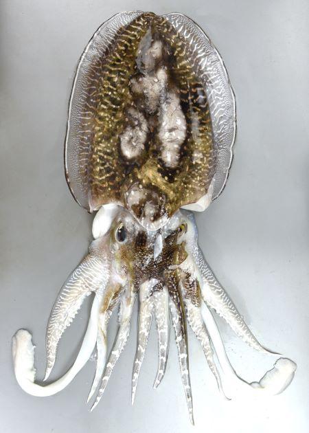 コブシメの形態写真