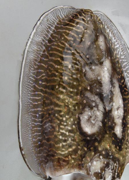外套長50センチ以上になる。鰭は同じ幅で胴の先でやや広がる。貝殻は長い楕円形。雄と雌で体の模様が違う。雄には背面と鰭に白い筋状の文様がある。[雄]