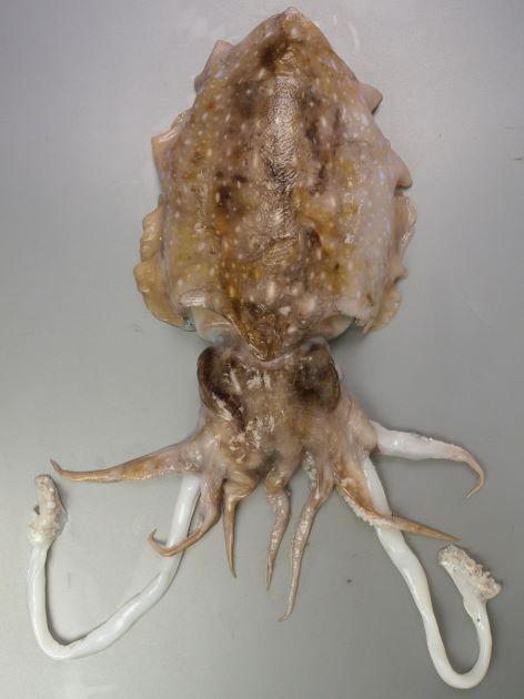 外套長50センチ以上になる。鰭は同じ幅で胴の先でやや広がる。貝殻は長い楕円形。雄と雌で体の模様が違う。雌の背面には白い斑文が散らばり、鰭には明瞭な斑紋がない。[雌]