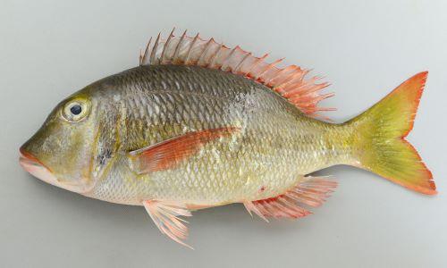 体長40cm前後になる。ほおには鱗がない。胸鰭の脇にも鱗がない。体側に目立った暗色斑がなく尾鰭は湾入する。側線から背鰭基部までの鱗数は5。