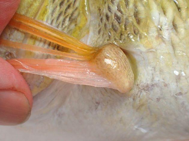胸鰭の脇にも鱗がない。