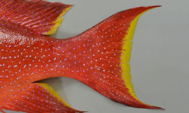 尾は三日月型に湾入して縁は黄色。オジロバラハタは縁が白。