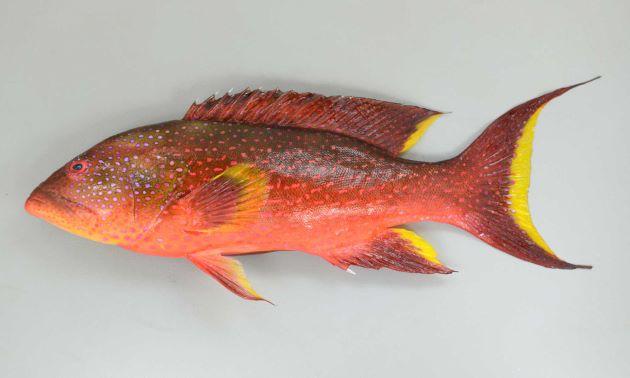 SL 60cm前後になる。オジロバラハタに似るが尾は三日月型に湾入して縁は黄色。オジロバラハタは縁が白。[若い個体 SL30cm]