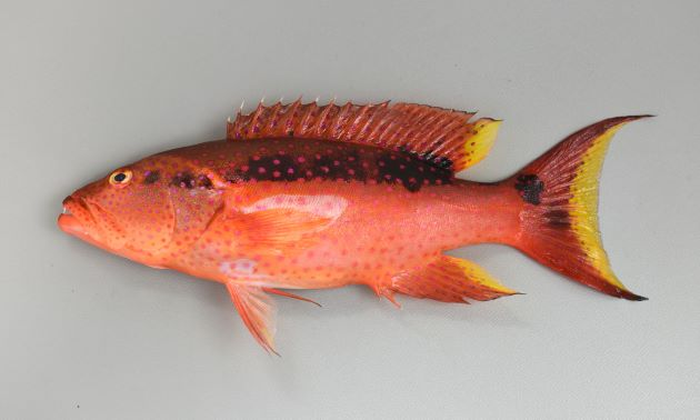 SL 60cm前後になる。オジロバラハタに似るが尾は三日月型に湾入して縁は黄色。オジロバラハタは縁が白。[若い個体 SL20cm]