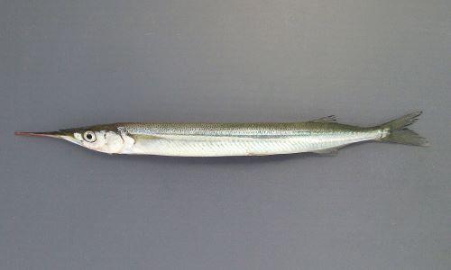40cm前後になる。体は細長く、尻鰭、背鰭が後方にある。下あごが細く針状に突出する。