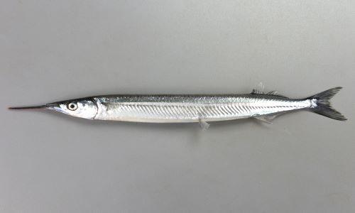 30cm SL前後になる。体は細長く、尻鰭、背鰭が後方にある。下あごが細く針状に突出する。